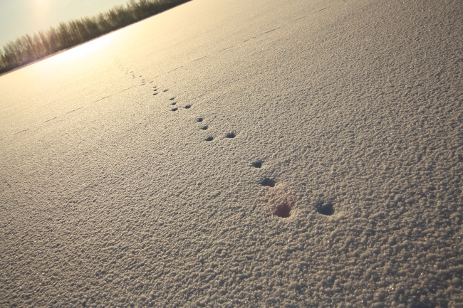 tracks of the hare