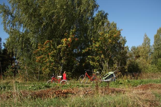 picking rowan berries