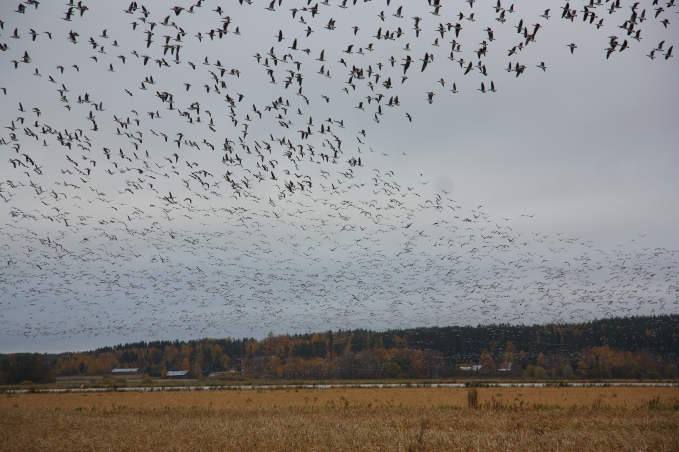 elimäki geese immigration hanhien muutto